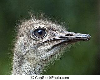 Common Ostrich - Portrait of Common Ostrich, (Struthio...
