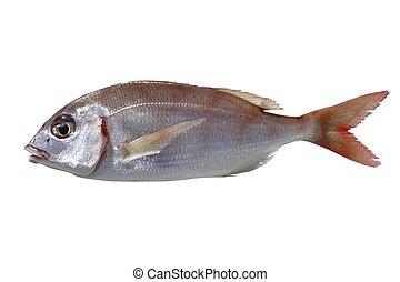 common pandora fish pagellus erythrinus isolated on white