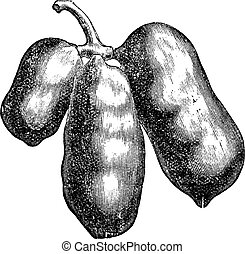 Common pawpaw or asimina triloba old engraving. - Common...