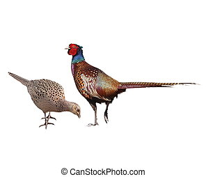 Common Pheasant female and male, isolated on white background, Phasianus colchicus