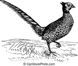 Common Pheasant or Phasianus colchicus, vintage engraving. Old engraved illustration of a Common Pheasant.