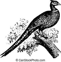Common pheasant, vintage engraving.