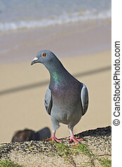 Common Pigeon on Beach - a common pigeon sitting on the edge...