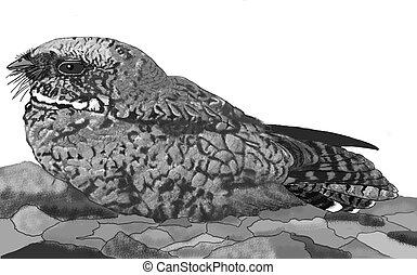 Common Poorwill Phalaenoptilus nuttallii Computer drawing