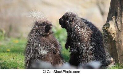 common porcupine