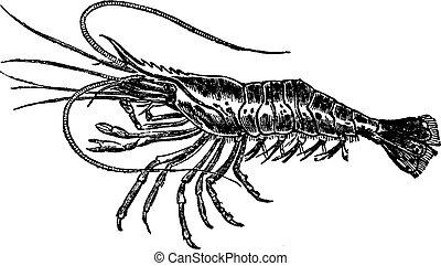 Common prawn or Palaemon serratus vintage engraving