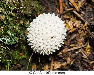 Common Puffball or Lycoperdon perlatum, edible wild mushroom, macro