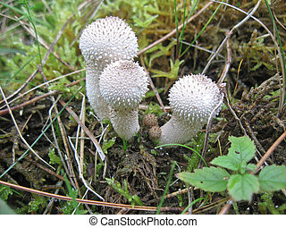Common puffballs. - Common puffballs, Lycoperdon perlatum,...