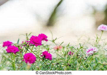Common Purslane or Verdolaga or Pigweed or Little Hogweed or...