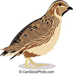 common quail cartoon bird vector illustration