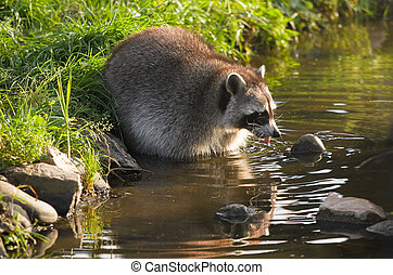 Common raccoon or Procyon lotor in water - Common raccoon or...