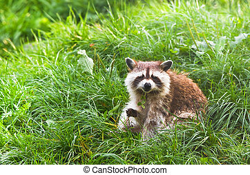 Common raccoon or Procyon lotor sitting on grass holding...