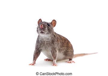 Common Rat on white
