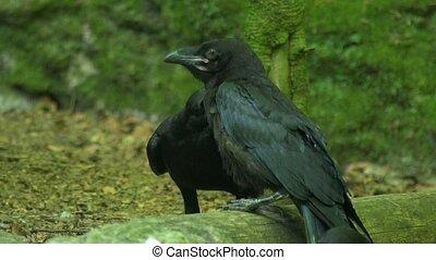 common raven -Corvus corax