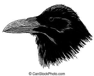 Common Raven head - Corvus corax
