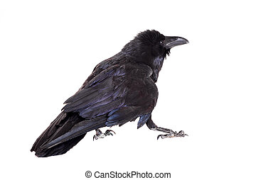 Common Raven isolated on white - Common Raven - Corvus corax...