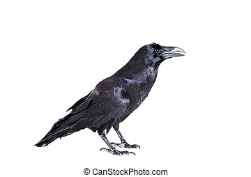 Common Raven isolated on white - Common Raven - Corvus...