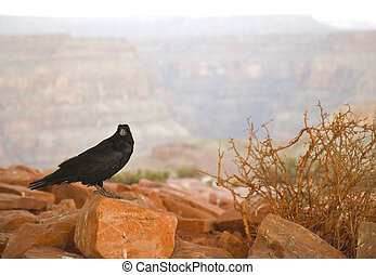 Common Raven on red rocks at the Grand Canyon