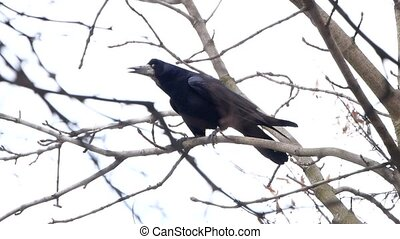 Common Raven On the Branch