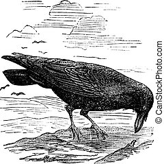 Common Raven or Northern Raven or Corvus corax, vintage engraving. Old engraved illustration of a common Raven.