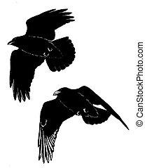 Common Ravens flying