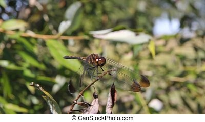 Common  red dragonfly close-up