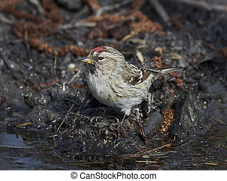 Common redpoll (Acanthis flammea) - Common redpoll sitting...