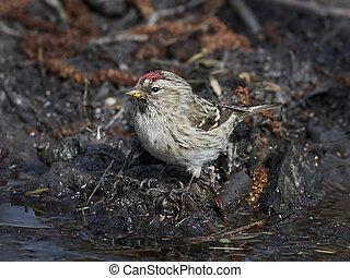 Common redpoll (Acanthis flammea)