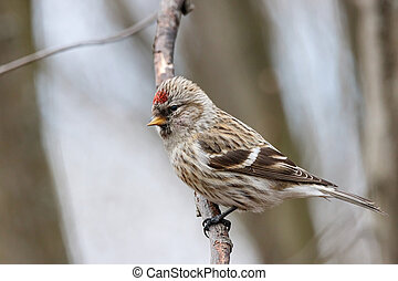 Common redpoll acanthis flammea female on branch