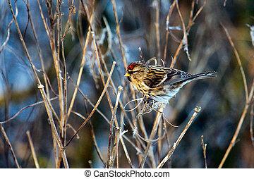 Common Redpoll (carduelis flammea) feeding on plant seeds