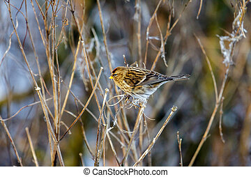 Common Redpoll (Carduelis flammea) Feeding on Plant Seeds
