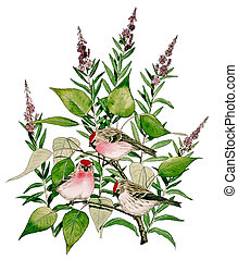 Common Redpoll - Acanthis flammea on Fireweed