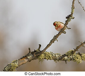Common Redpoll on Branch - Common Redpoll ( Carduelis...