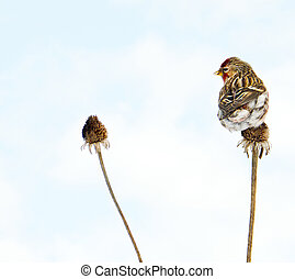 Common redpoll perched.