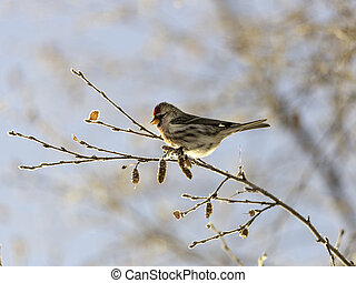 Common Redpoll Sitting on a Birch Branch - Common redpoll on...