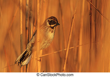 Common reed bunting bathed in sunlight