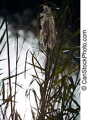 Common Reed by the Stream - Common Reed plant (Phragmites...