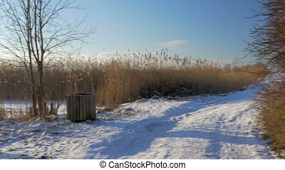 Common reed (Phragmites australis) in winter with snow....