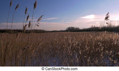 Common reed (Phragmites australis) in winter with snow. Early Spring in Latvia.