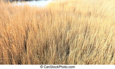 Common reed (Phragmites), spring