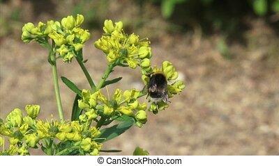 Common rue - ruta graveolens in bloom + bumblebee - close up