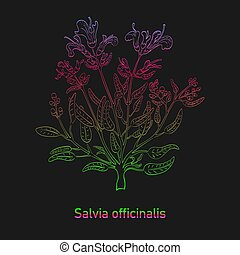 Common Sage Herb Colored with Vibrant Gradient - Contour ...