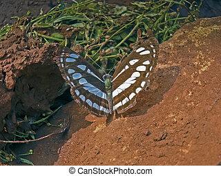 Common sailor-butterfly, Neptis hylas varmona, Nymphalidae, Neptis hylas