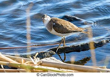 Common Sandpiper Water Bird?(Actitis hypoleucos)?