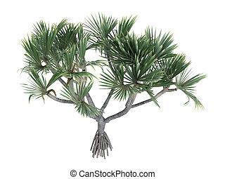 Common Screwpine or Pandanus utilis - Common Screwpine or ...