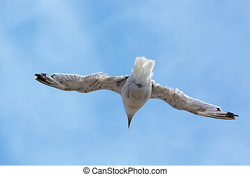 Common Seagull (larus larus) in flight