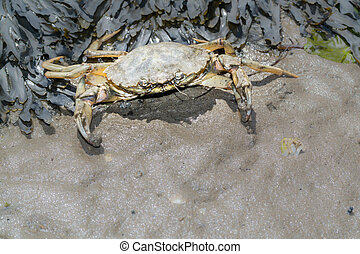 Common shore crab at low tide