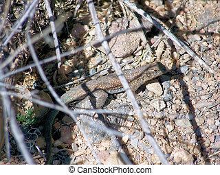 Common Side Blotched Lizard Hiding