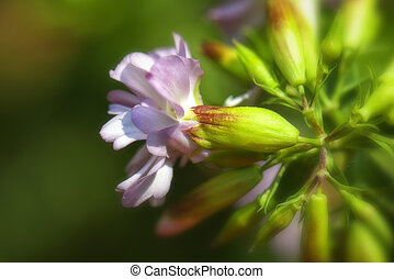 Common Soapwort - macro - Common soapwort in a macro shot