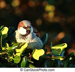 Common Sparrow - The House Sparrow (Passer domesticus) is a ...